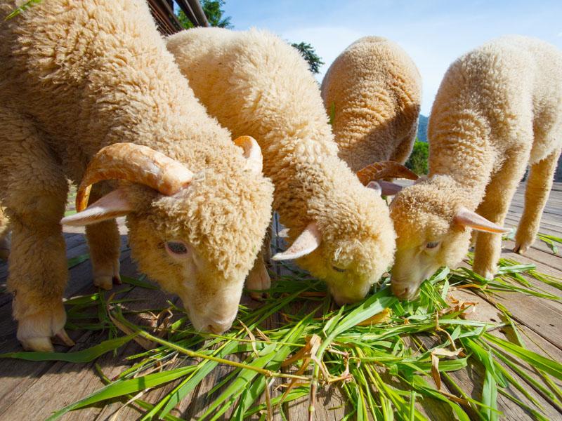 merino lambs eating grass